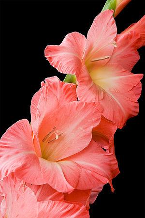 Pink gladioli flowers