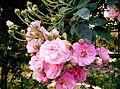 Pink roses specimen.jpg