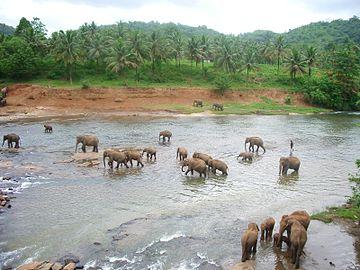 Pinnawela-bany dels elefants2.jpg
