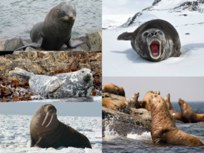 Description de l'image Pinniped collage.png.