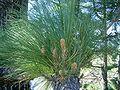 Pinus canariensis (Puntagorda) 02 ies.jpg