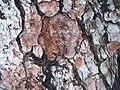 Pinus canariensis Pinienrinde.jpg
