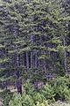 Pinus nigra - Karaçam 04.jpg