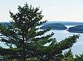 Pinus strobus Acadia 0352.jpg