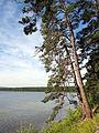 Pinus sylvestris mongolica Lake Arey 2.jpg
