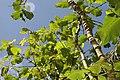 Piper auritum 40zz.jpg
