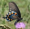 Pipevine Swallowtail (2661168441).jpg