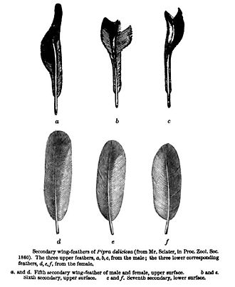 Bird vocalization - Wing feathers of a male club-winged manakin, with the modifications noted by P. L. Sclater in 1860 and discussed by Charles Darwin in 1871