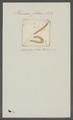 Planaria filaris - - Print - Iconographia Zoologica - Special Collections University of Amsterdam - UBAINV0274 105 09 0015.tif