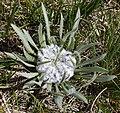 Plant on Mount Ara 2.jpg