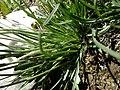 Plantago maritima plant (12).jpg