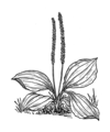Plantain Plant 2 (PSF).png