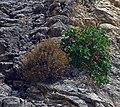 Plants on the rocks. Rhodes, Greece.jpg