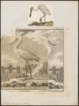 Platalea leucorodia - 1700-1880 - Print - Iconographia Zoologica - Special Collections University of Amsterdam - UBA01 IZ17600081.tif