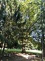 Platanus acerifolia, 2020 Marcali.jpg