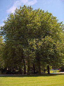 Platanus x hispanica11.JPEG