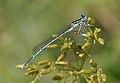 Platycnemis pennipes qtl6.jpg