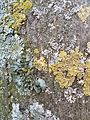 Pleurostica-acetabulum.jpg