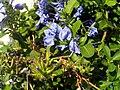 Plumbago auriculata Plant TorreLaMata.jpg