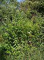 Pod lipskiem krzew do identyfikacji 17.07.09 pl.jpg