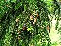 Podlaskie - Suprasl - Kopna Gora - Arboretum - Picea orientalis 'Atrovirens' - branch.JPG