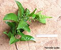 Pogonophora schomburgkiana, cocão - Flickr - Tarciso Leão (12).jpg