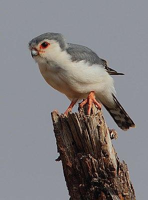 Serah Farron 297px-Polihierax_semitorquatus_-Buffalo_Springs_National_Park,_Kenya-8