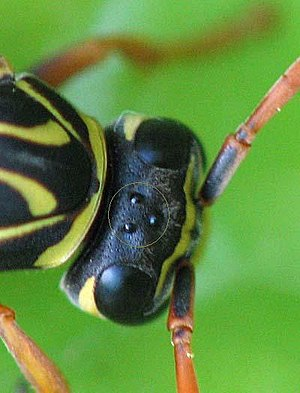 Simple eye in invertebrates - Head of Polistes with two compound eyes and three ocelli