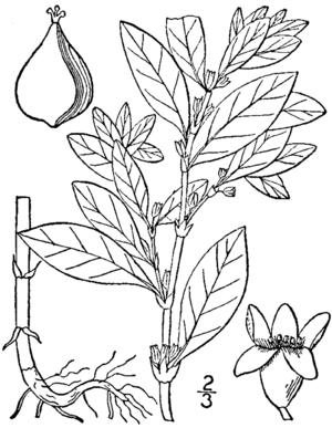 Polygonum erectum - Image: Polygonum erectum BB 1913