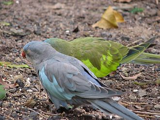 Princess parrot - A blue mutant variety in front of a normal wild type at Flying High Bird Habitat, Australia
