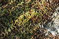 Polytrichum.piliferum.2.jpg