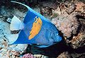 Pomacanthus maculosus.jpg