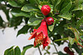 Pomegranate Blossom in Bardeskan.JPG