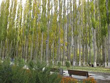 Poplars of Khorog City Park.JPG