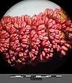 Populus nigra sl28.jpg