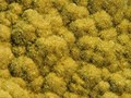 Porites asteroides (Mustard Hill Coral) closeup.jpg