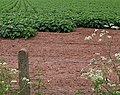 Potato crop, Lea - geograph.org.uk - 444852.jpg