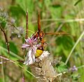 Potter or Mason Wasp. Eumenidae. - Flickr - gailhampshire.jpg
