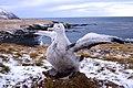 Poussin grand Albatros Crozet 02.jpg