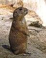 Prairie Dog (Emmen Zoo).jpg