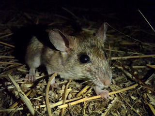 Daltons mouse Species of rodent