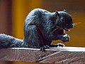 Prevost's Squirrel (14157558424).jpg