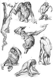 A 1927 drawing of chimpanzees, a gibbon (top right) and two orangutans (center and bottom center);  the chimp in the upper left is brachiating, the orang at the bottom center is knuckle-walking