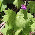 Primula jesoana var. jesoana (leaf).JPG