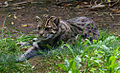Prionailurus viverrinus Fishing cat Pont-Scorff Zoo 17082015 1.jpg