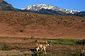 Pronghorn in Yellowstone National Park.jpg