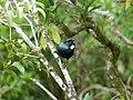 Prosthemadera novaeseelandiae -Karori Wildlife Sanctuary, Wellington, New Zealand-8.jpg