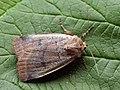 Protolampra sobrina - Cousin German - Земляная совка красноголовая (39288839650).jpg