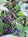 Prunus laurocerasus Frucht.jpg