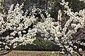 Prunus salicina inflorescence (01).jpg